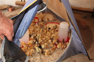 017_All chicks in the tent